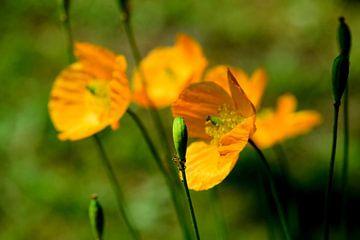 oranje klaprozen van Petra De Jonge