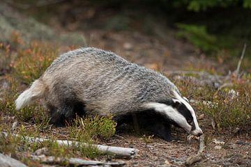 Das ( Meles meles ) zoekt met zijn neus op de grond naar voedsel in het bos, Europa. van wunderbare Erde