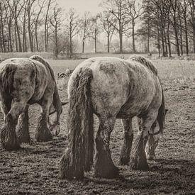 900 kilogram bruinschimmel (hollands trekpaard) bij middelrode van jan van de ven
