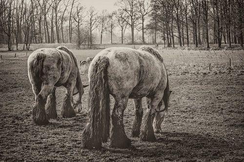 900 kilogram bruinschimmel (hollands trekpaard) bij middelrode