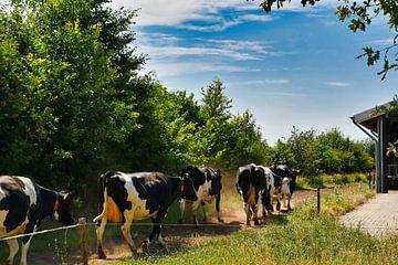 Kühe, die dem Sandweg mit sozialer Distanz folgen von J..M de Jong-Jansen