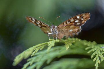 Bont zandoogje (vlinder) von Kim de Been