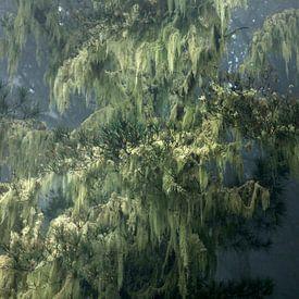 Gran Canaria mistige bossen in de bergen met spaansmos door zeemist nr. 2 van Marianne van der Zee