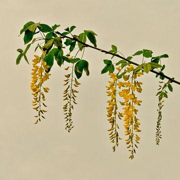 Gouden regen van arjan doornbos