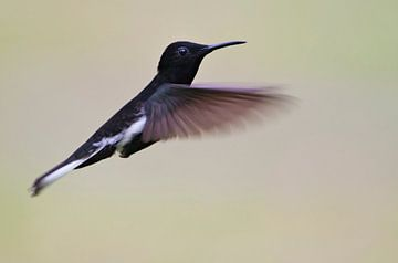 Rouwkolibri in vlucht, Brazilië  van Wilfred Marissen