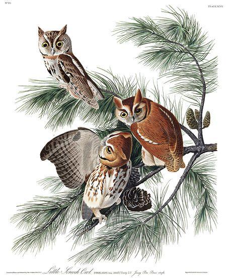 Oostelijke Schreeuwuil van Birds of America