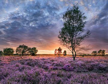 Kleurrijke zonsondergang op een paars gekleurde bloeiende heater_2 van Tony Vingerhoets