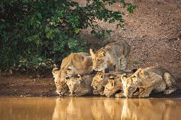 Groep leeuwen drinkt water bij de rivier van Simone Janssen
