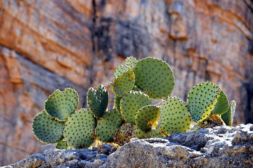 Stoere Cactussen van Paul van Baardwijk
