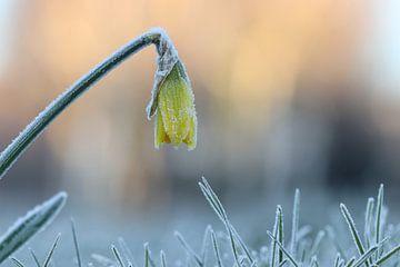 Narzisse im Winter von Mireille Breen