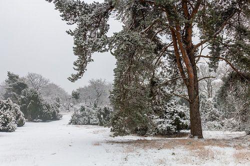 Winter Pine Tree