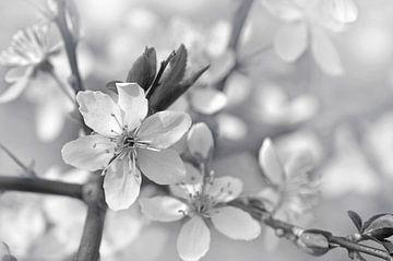 Blütenzweig von Violetta Honkisz