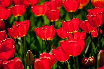 Tulpen in tegenlicht  van Ad van Geffen