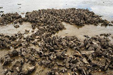 Droog gevallen mosselbanken in de Waddenzee van