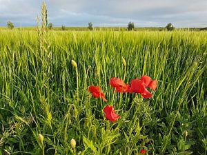 Klaprozen en gerst / Poppies and barley van Henk de Boer
