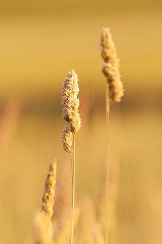 grasspriet