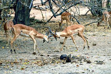 Vechtende Impala Chobe National Park van Merijn Loch