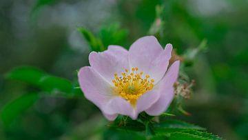 Roze bloem van Barry van Rijswijk