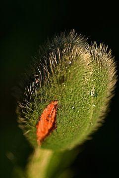 aufblühende Mohnblumenknospe von Ilo.Auge