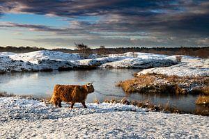 Schotse Hooglander in sneeuwlandschap Zeepeduinen van Paula Romein