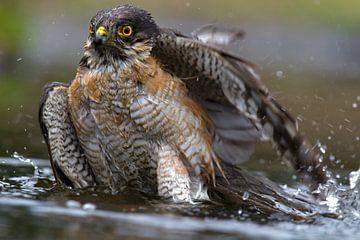 Sperwer neemt een bad