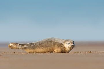 Jonge Gewone Zeehond op het strand van Jeroen Stel