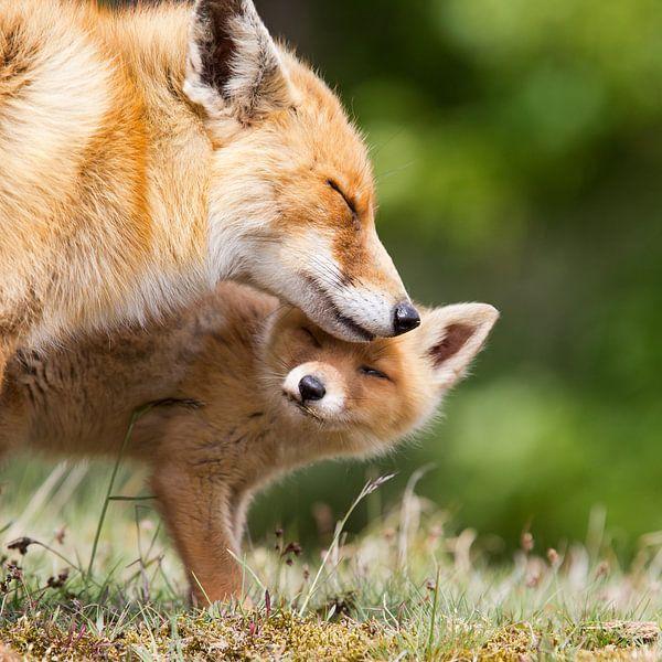 Moeder vos en welp