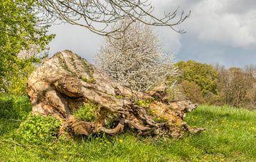 Begroeide boomstronk tijdens de Lente