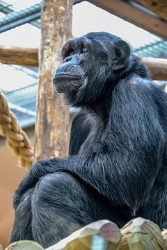 Chimpansee (Pan troglodytes) von victor truyts