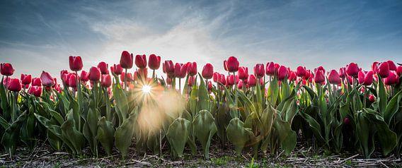 Rode tulpen in het veld van Arjen Schippers