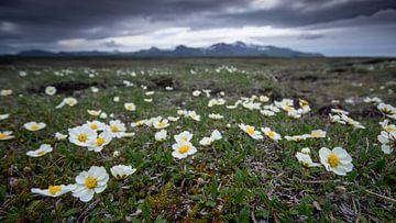 Blumen in der Tundra von Sam Mannaerts Natuurfotografie