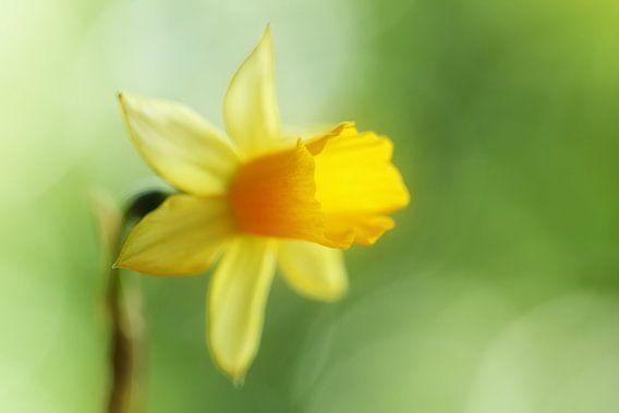Gele narcis van LHJB Photography