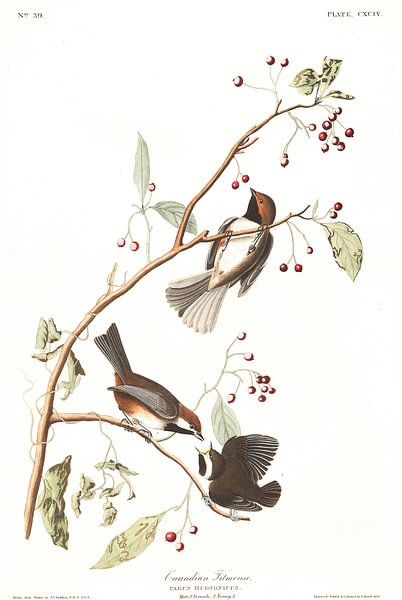 Hudsonmees van Birds of America