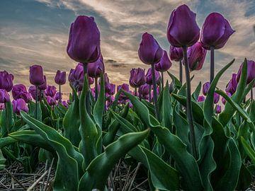 Tulpen paars von Patrick van Baar
