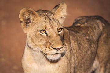 Close up portret van leeuwin in warm zonlicht van Simone Janssen