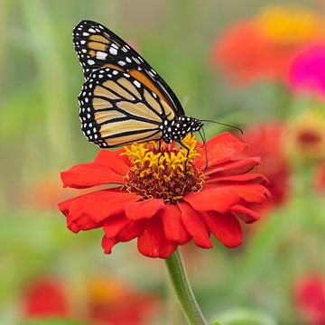 monarch vlinder op een gerbera van gea strucks