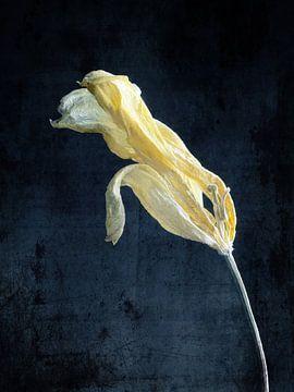 Zarte gelbe Tulpe von Andreas Berheide Photography