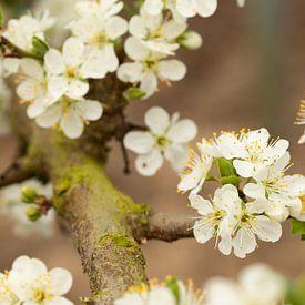 Witte bloesem van de zoete pruim van Marijke van Eijkeren