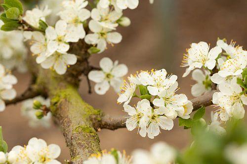 Witte bloesem van de zoete pruim von Marijke van Eijkeren