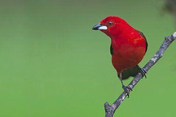 Rode Tangare op takje, Itanhaem, Brazilië van Wilfred Marissen