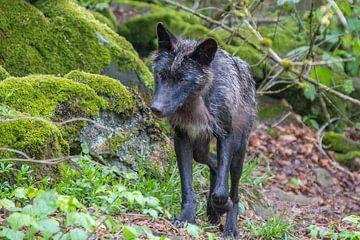 Schwarzer Wolf von Marijke Arends-Meiring