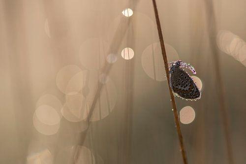 Heideblauwtje met bokeh