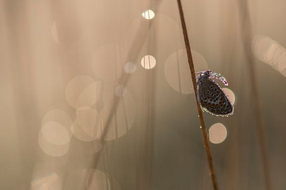 Heideblauwtje met bokeh van Erik Veldkamp