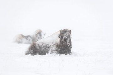 Amerikaanse bizon ( Bison bison ) in een sneeuwstorm, trotseren de blizzard, wildlife, Yellowstone g van wunderbare Erde