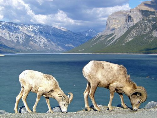 Bighorn schapen in Canada van Frederique Richard
