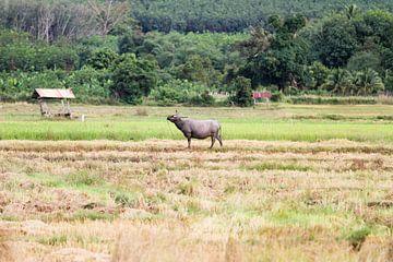 Wasserbüffel auf dem Feld von