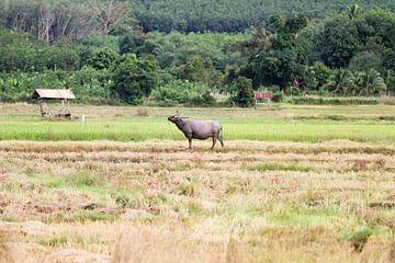 Wasserbüffel auf dem Feld sur Levent Weber