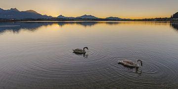 Schwäne, Sonnenuntergang, Hopfensee von Walter G. Allgöwer