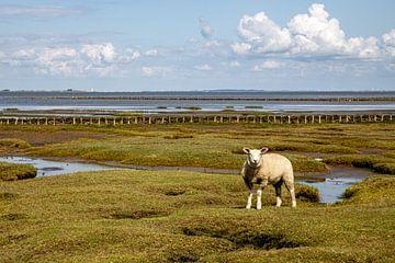 Schaf auf einer Salzwiese vor Tetenbüll von Alexander Wolff