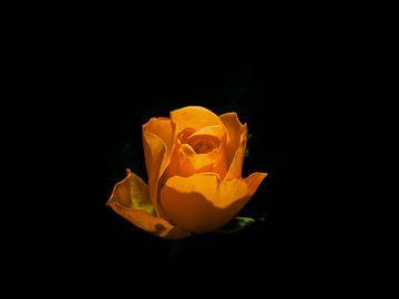 Gelbe Rose von Fowler Fotografie